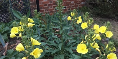 This Evening Primrose self-seeded in the sandy soil of our easterly garden