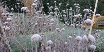 Monarda 'On Parade' on a frosty morning in a sandy garden