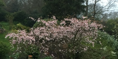 Favourite tree in my garden Prunus x subhirtella 'Autumnalis'