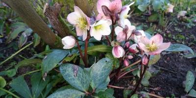 Hybrid Lenton rose or Helleborus x hybrids