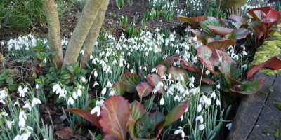 Snowdrops with leaves of Bergen