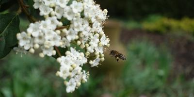 Honey bee approaches Viburnum tinus