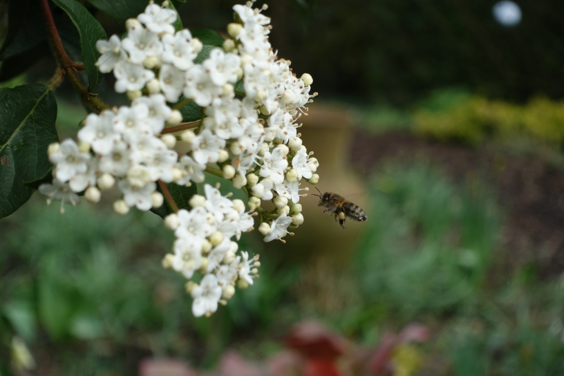 Honey bee approaches Viburnum tinus
