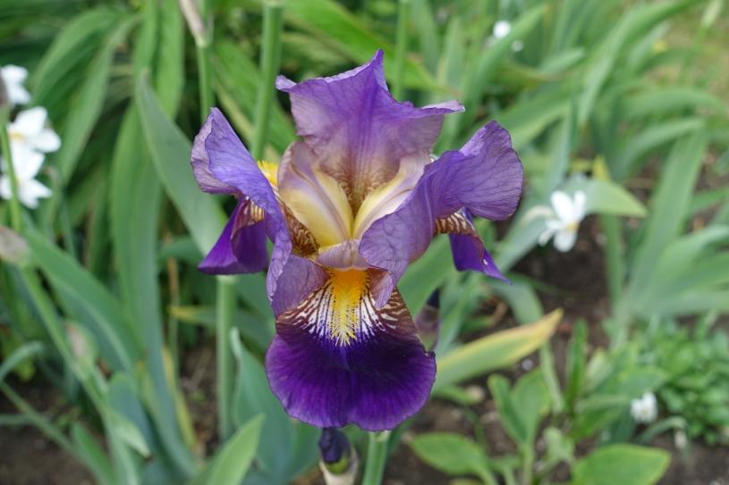 Fully-opened bearded iris close-up
