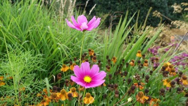 Cosmos bipinnatus in a late summer garden