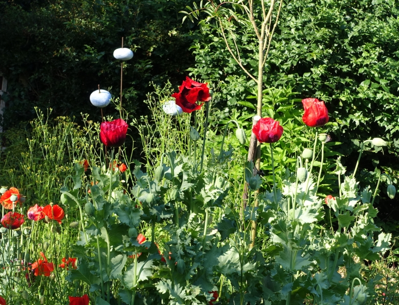 Opium poppies left to self-seed