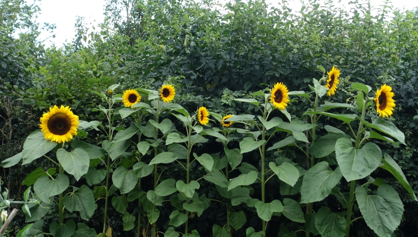Sunflowers are a good way to brighten up a hedge and birds love the seeds from the giant flowers
