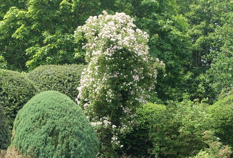 Wedding Day rose growing up an old hawthorn