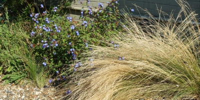 The Chinese plumbago or Ceratostigma willmottianum in a gravel garden alongside Stipa lessingiana, the Lessing Feather Grass