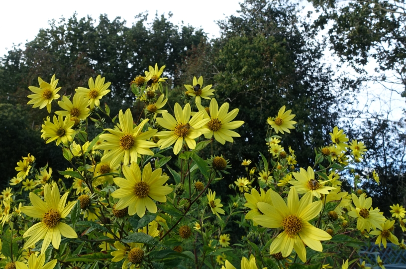 Helianthus 'Lemon Queen' flowers from July through to at least October in our Far East garden