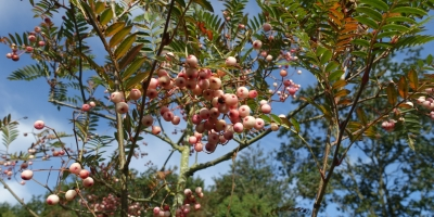 This is the Rowan or mountain ash which is Sorbus vilmorinii or Vilmorin's rowan