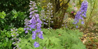 Late-flowering delphiniums in November