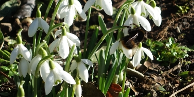A bee working on a snowdrop in early February