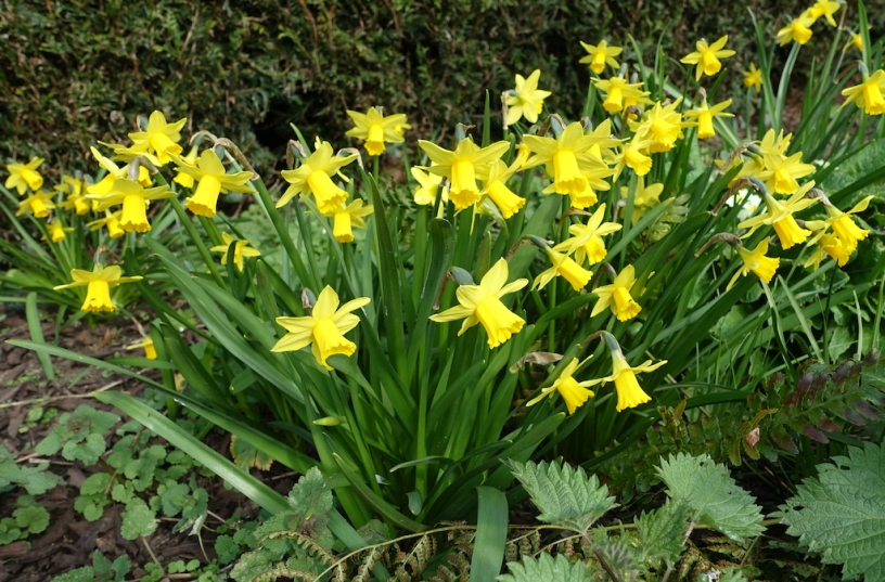 Tete-a-Tete narcissi are small and neat, long-lasting and they die gracefully.