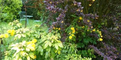 Purple berberis with Kerria japonica makes a happy combination